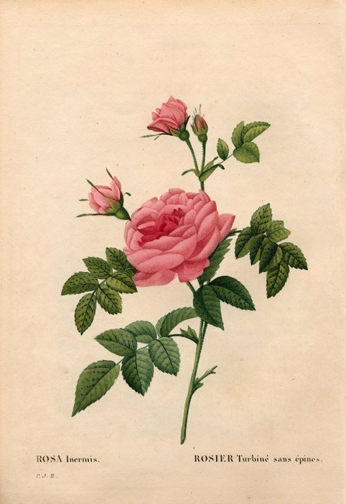 "Stock Photo: 4409-84782 Rose without a thorn, Rosa francofurtana variety, Rosier turbiné sans épines. Handcoloured stipple copperplate engraving from Pierre Joseph Redoute's ""Les Roses,"" Paris, 1828. Redoute was botanical artist to Marie Antoinette and Empress Josephine. He painted over 170 watercolours of roses from the gardens of Malmaison."