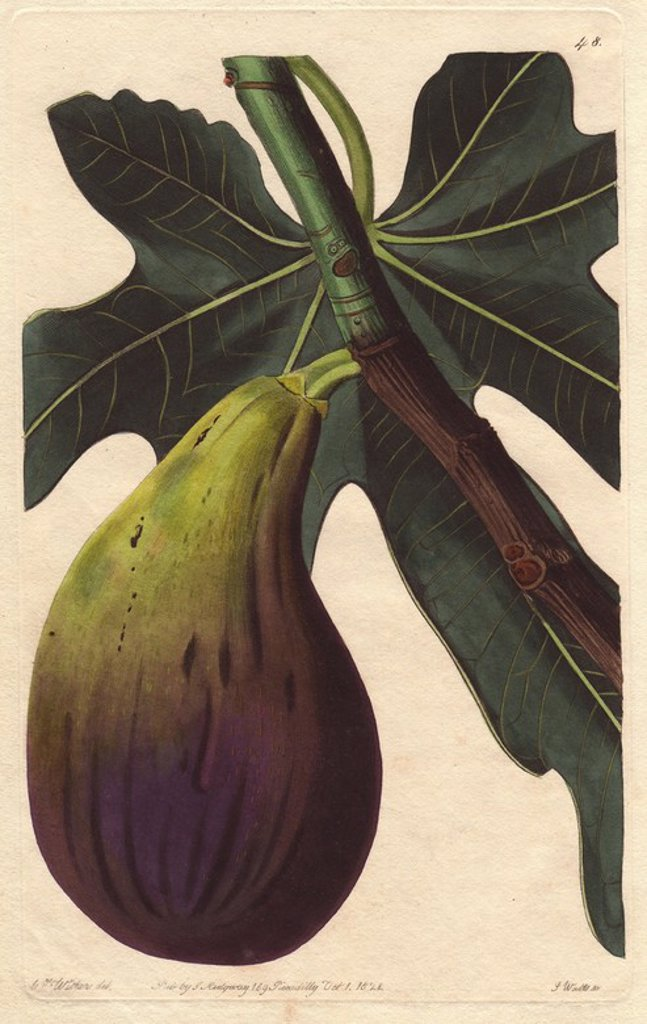 "Brunswick fig, Ficus carica. Handcoloured copperplate engraving by S. Watts from a botanical illustration by Augusta Withers from John Lindley's ""Pomological Magazine,"" James Ridgway, London, 1828. The magazine was published in three volumes from 1828 to 1830 and discontinued at plate 152 because of a dispute between the editors. Lindley (1795-1865) was an English botanist and gardener who published books on roses, orchids, and fruit. Mrs. Withers (1793-1877) was an eminent Victorian botanical a : Stock Photo"