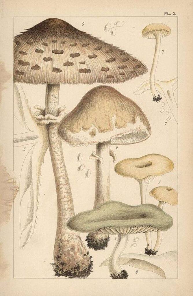"Stock Photo: 4409-84833 Pasture or parasol mushrooms, Macrolepiota procera 5 and Macrolepiota excoriata 6, fragrant funnel, Clitocybe fragrans 7, and aniseed toadstool, Clitocybe odora 8. Chromolithograph after an illustration by M. C. Cooke from his own ""British Edible Fungi, how to distinguish and how to cook them,"" London, Kegan Paul, 1891. Mordecai Cubitt Cooke (1825-1914) was a British botanist, mycologist and artist. He was curator a the India Musuem from 1860 to 1879, when he transferred along with the botanical"