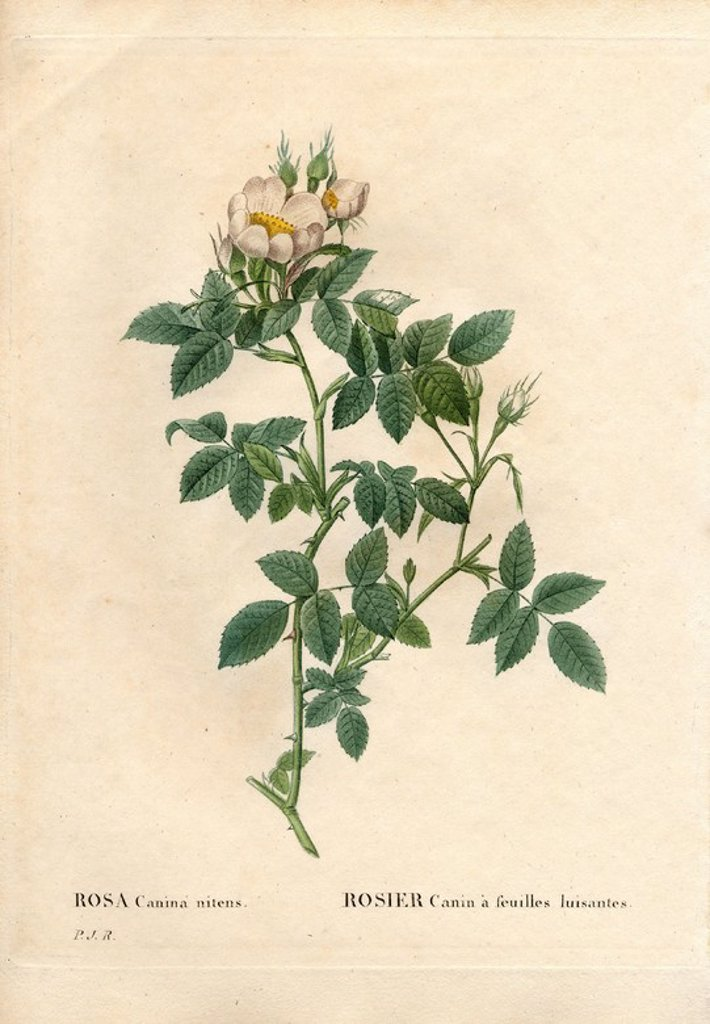 "Stock Photo: 4409-84930 Shiny leaved dog rose, Rosa canina variety, Rosier canin a feuilles luisantes. Handcoloured stipple copperplate engraving from Pierre Joseph Redoute's ""Les Roses,"" Paris, 1828. Redoute was botanical artist to Marie Antoinette and Empress Josephine. He painted over 170 watercolours of roses from the gardens of Malmaison."