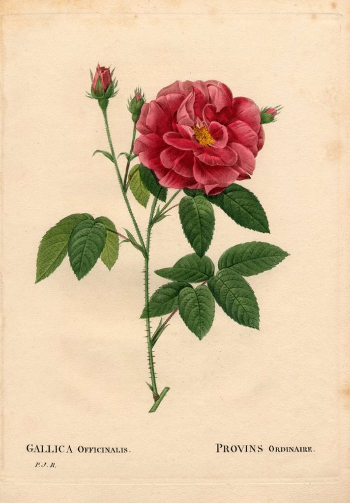 "Stock Photo: 4409-84941 Apothecary's rose, Rosa gallica var. officinalis, Rosier de Provins ordinaire. Handcoloured stipple copperplate engraving from Pierre Joseph Redoute's ""Les Roses,"" Paris, 1828. Redoute was botanical artist to Marie Antoinette and Empress Josephine. He painted over 170 watercolours of roses from the gardens of Malmaison."