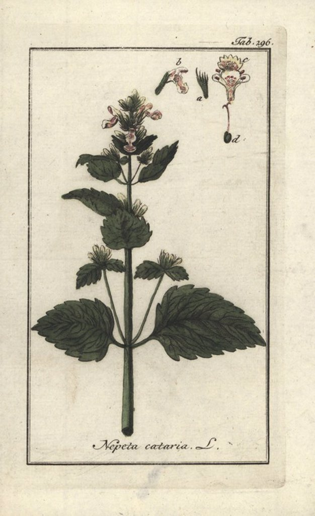 "Stock Photo: 4409-85007 Catnip, Nepeta cataria. Handcoloured copperplate botanical engraving from Johannes Zorn's ""Afbeelding der Artseny-Gewassen,"" Jan Christiaan Sepp, Amsterdam, 1796. Zorn first published his illustrated medical botany in Nurnberg in 1780 with 500 plates, and a Dutch edition followed in 1796 published by J.C. Sepp with an additional 100 plates. Zorn (1739-1799) was a German pharmacist and botanist who collected medical plants from all over Europe for his ""Icones plantarum medicinalium"" for apothecar"