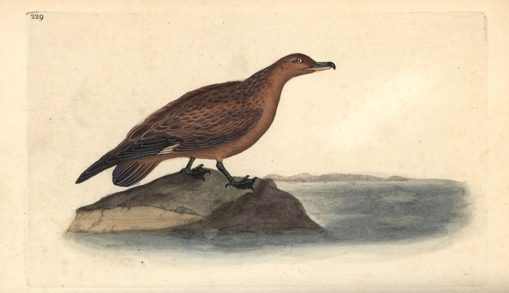 "Stock Photo: 4409-85024 Great skua, Stercorarius skua. Handcoloured copperplate drawn and engraved by Edward Donovan from his own ""Natural History of British Birds,"" London, 1794-1819. Edward Donovan (1768-1837) was an Anglo-Irish amateur zoologist, writer, artist and engraver. He wrote and illustrated a series of volumes on birds, fish, shells and insects, opened his own museum of natural history in London, but later he fell on hard times and died penniless."