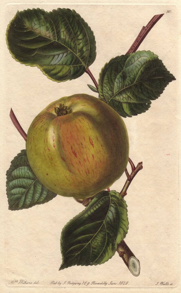 "Stock Photo: 4409-85086 Borovitsky apple, Malus domestica, raised in the Taurida Gardens near St. Petersburgh. Handcoloured copperplate engraving by S. Watts from a botanical illustration by Augusta Withers from John Lindley's ""Pomological Magazine,"" James Ridgway, London, 1828. The magazine was published in three volumes from 1828 to 1830 and discontinued at plate 152 because of a dispute between the editors. Lindley (1795-1865) was an English botanist and gardener who published books on roses, orchids, and fruit. Mrs"