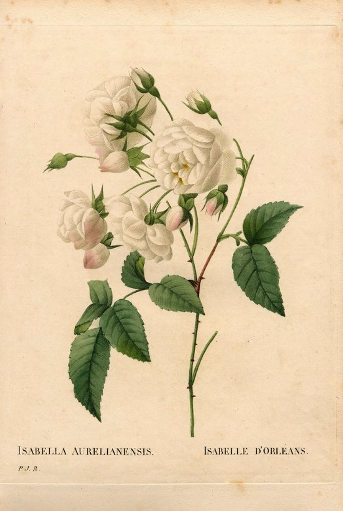 "Stock Photo: 4409-85202 Duchesse d'Orléans rose, Rosa gallica variety. Handcoloured stipple copperplate engraving from Pierre Joseph Redoute's ""Les Roses,"" Paris, 1828. Redoute was botanical artist to Marie Antoinette and Empress Josephine. He painted over 170 watercolours of roses from the gardens of Malmaison."
