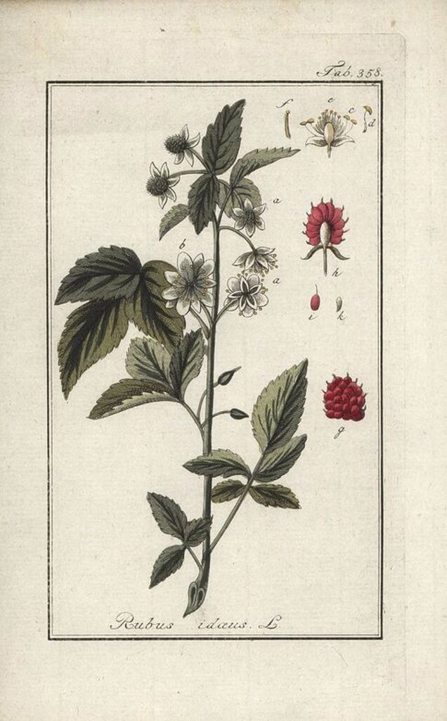 "Raspberry, Rubus idaeus. Handcoloured copperplate botanical engraving from Johannes Zorn's ""Afbeelding der Artseny-Gewassen,"" Jan Christiaan Sepp, Amsterdam, 1796. Zorn first published his illustrated medical botany in Nurnberg in 1780 with 500 plates, and a Dutch edition followed in 1796 published by J.C. Sepp with an additional 100 plates. Zorn (1739-1799) was a German pharmacist and botanist who collected medical plants from all over Europe for his ""Icones plantarum medicinalium"" for apotheca : Stock Photo"