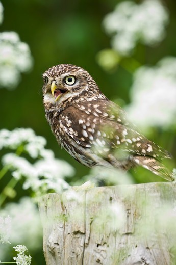 Stock Photo: 4410-1020 Little Owl (Athene noctua) calling from fence post, Surrey, England