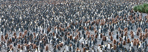 Stock Photo: 4410-1065 King penguins (Aptenodytes patagonicus) breeding colony, Salisbury Plain, South Georgia Island