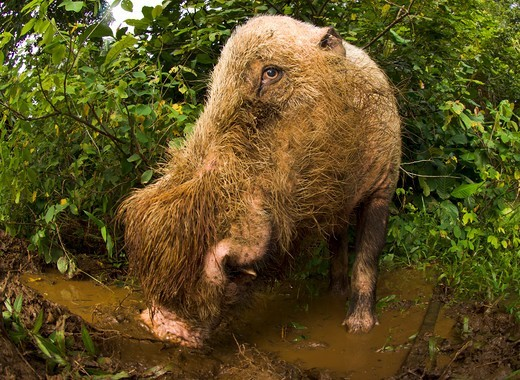 Stock Photo: 4410-1099 Male Bearded Pig (Sus barbatus) wallowing in a forest, Bako National Park, Sarawak State, Island of Borneo, Malaysia