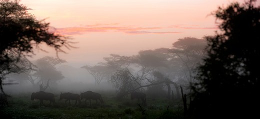 Column of White-Bearded wildebeest (Connochaetes taurinus albojubatus) migrating through Acacia woodland at dawn near Ndutu, Ngorongoro Conservation Area, Tanzania : Stock Photo