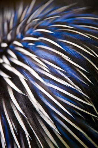 Stock Photo: 4410-1338 Feather design of Vulterurine Guinea fowl (Acryllium vulturinum), Kenya
