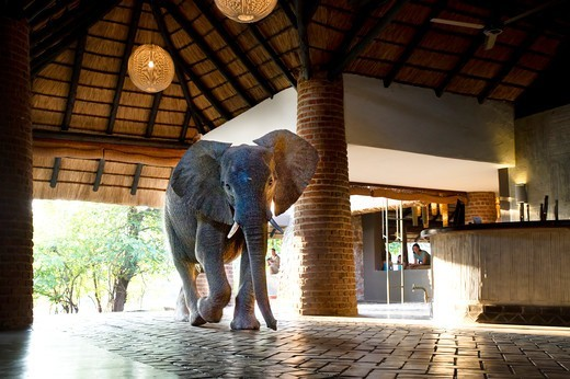 Juvenile African elephant (Loxodonta africana) walking through reception at Mfuwe Lodge, South Luangwa National Park, Zambia : Stock Photo