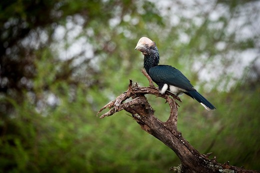 Adult Silvery-Cheeked hornbill (Bycanistes brevis) perching on a tree branch, Lake Manyara National Park, Tanzania : Stock Photo