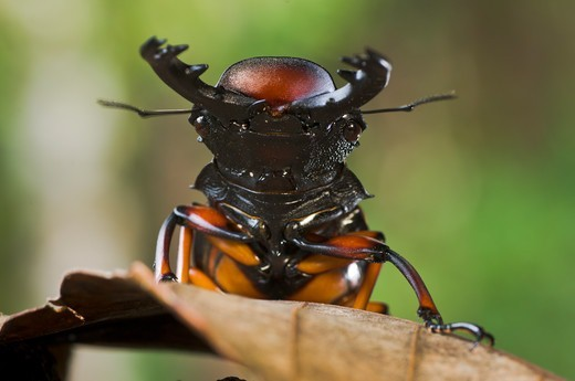 Stock Photo: 4410-1532 Close-up of a Giant Stag Beetle, Mt Kinabalu, Sabah State, Island of Borneo, Malaysia