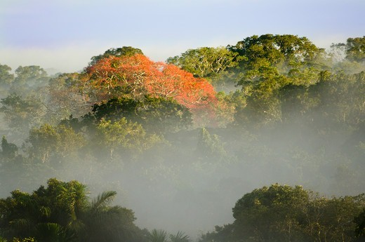 Stock Photo: 4410-1556 Rainforest trees in bloom in a forest near Napo River, Ecuador