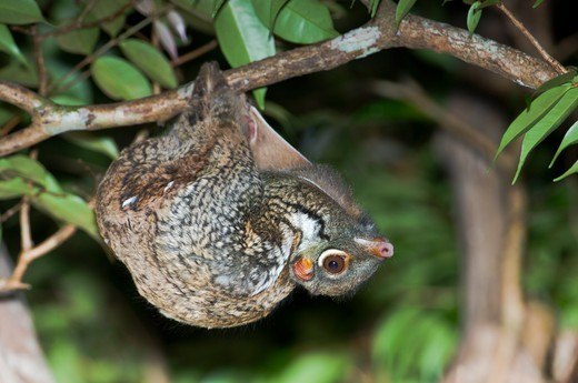 Stock Photo: 4410-1582 Flying lemur (Cynocephalus variegatus) in suspensory resting posture at night, Bako National Park, Sarawak State, Island of Borneo, Malaysia