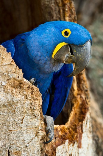 Hyacinth macaw (Anodorhynchus hyacinthinus) at nest hole, Cuiaba River, Pantanal Wetlands, Brazil : Stock Photo