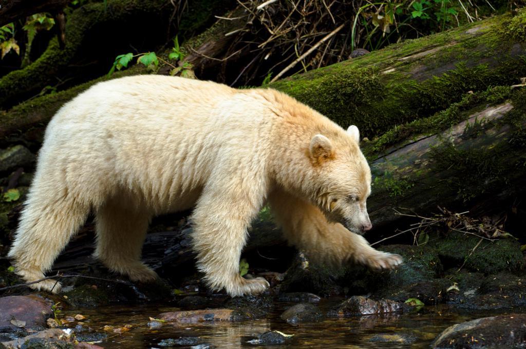 Kermode bear (Ursus americanus kermodei) by stream fishing for salmon, Princes Royal Island, Great bear Rainforest, British Columbia, Canada : Stock Photo