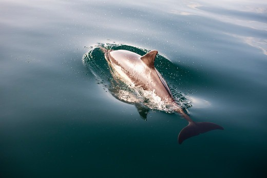 Oualidia, Morocco,Close-up Of Dolphin Swimming In Water : Stock Photo