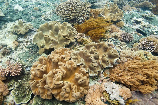 Stock Photo: 4411-3012 Bali, Indonesia,Coral Underwater