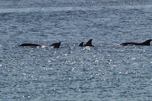 Dolphins Swimming In Morning Light, El Morro Bay, El Morro Bay, Laguna Beach, California, USA : Stock Photo