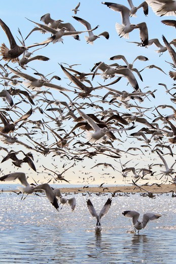 Stock Photo: 4411-5940 Seagulls Flying Over River Mouth, Doheny Park, Doheney Park, Dana Point, California, USA