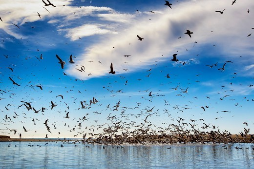 Seagulls Flying Over River Mouth, Doheny Park, Doheney Park, Dana Point, California, USA : Stock Photo