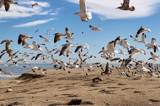 Flock Of Seagulls Taking Off, Doheny Park, Doheney Park, Dana Point, California, USA : Stock Photo