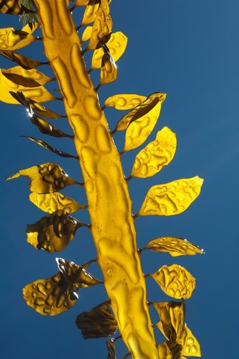 California, USA,Giant Kelp : Stock Photo