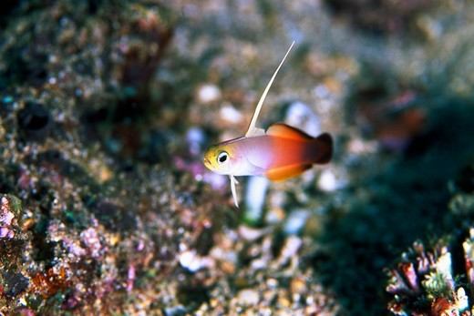 Stock Photo: 4411-9323 Yap, Micronesia,dart fish