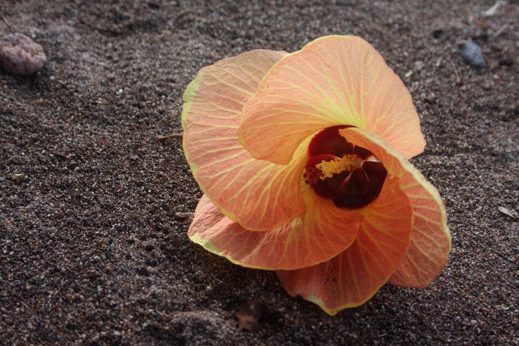 Hibiscus flower leaf linden in Indonesia : Stock Photo