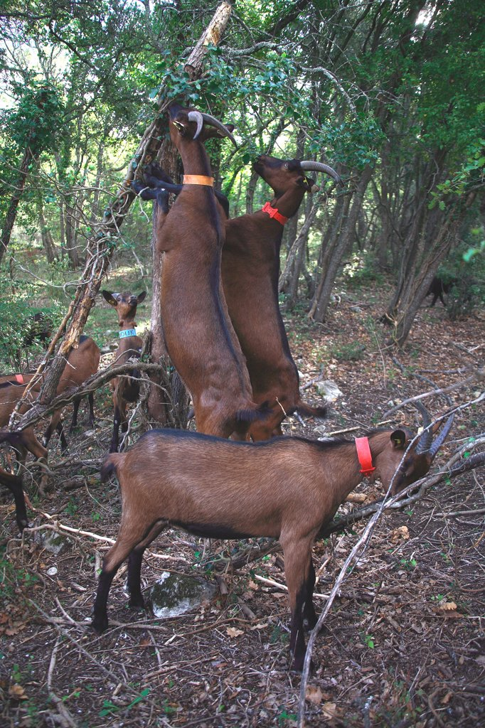 Goats eating in undergrowth France : Stock Photo