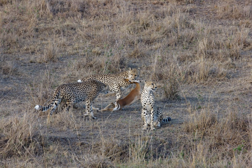 Stock Photo: 4413-102410 Three young brothers Cheetahs eating with a young Impala