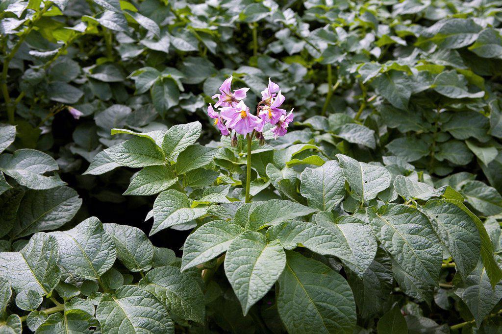 Stock Photo: 4413-10271 Violet flower of Potato in a field Rwanda