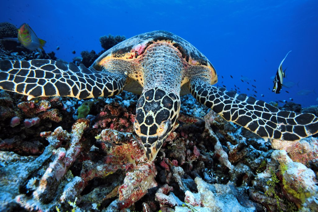 Hawksbill turtle feeding on the reef Tuamotu Polynesia : Stock Photo
