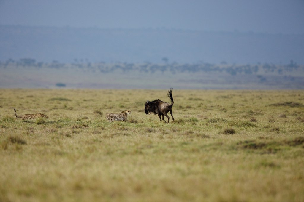 Stock Photo: 4413-104529 Wildebeest injured resisting attack Cheetah Masai Mara