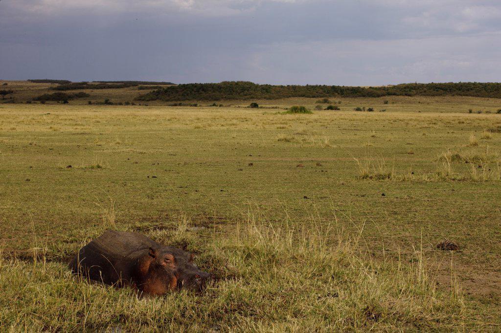 Hippopotamus old sleeping in a pool Masai Mara Kenya : Stock Photo