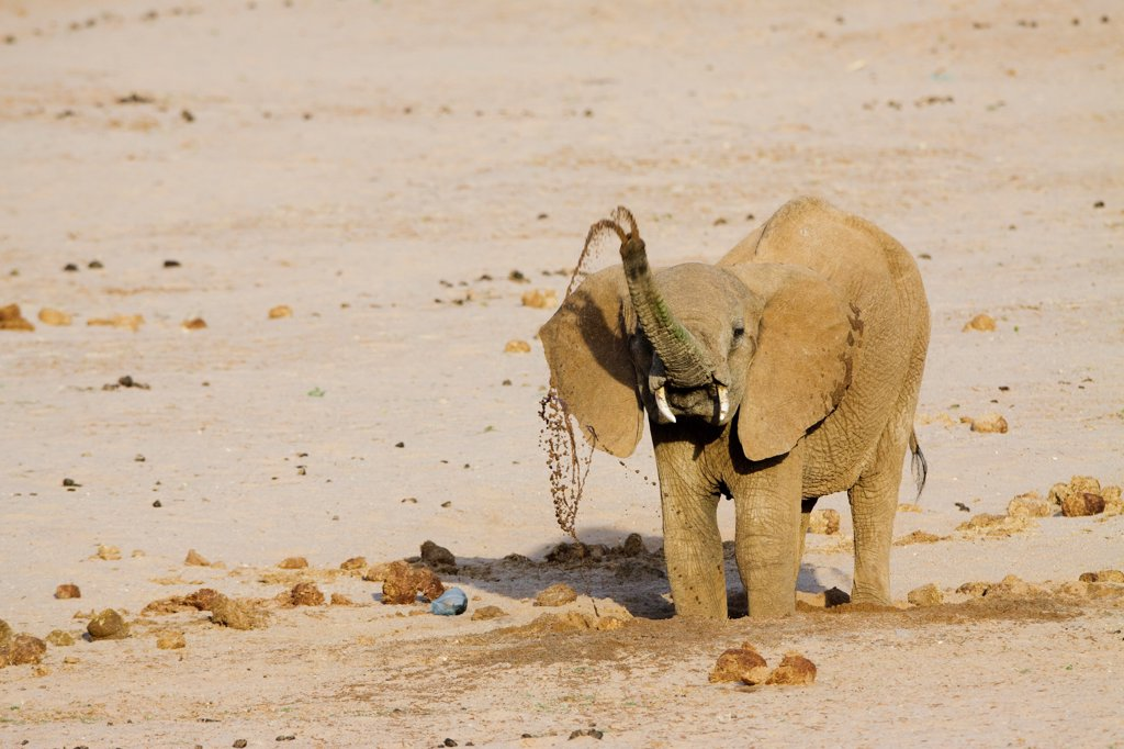 Stock Photo: 4413-104770 African Elephant drinking in a dry riverbed Samburu Kenya