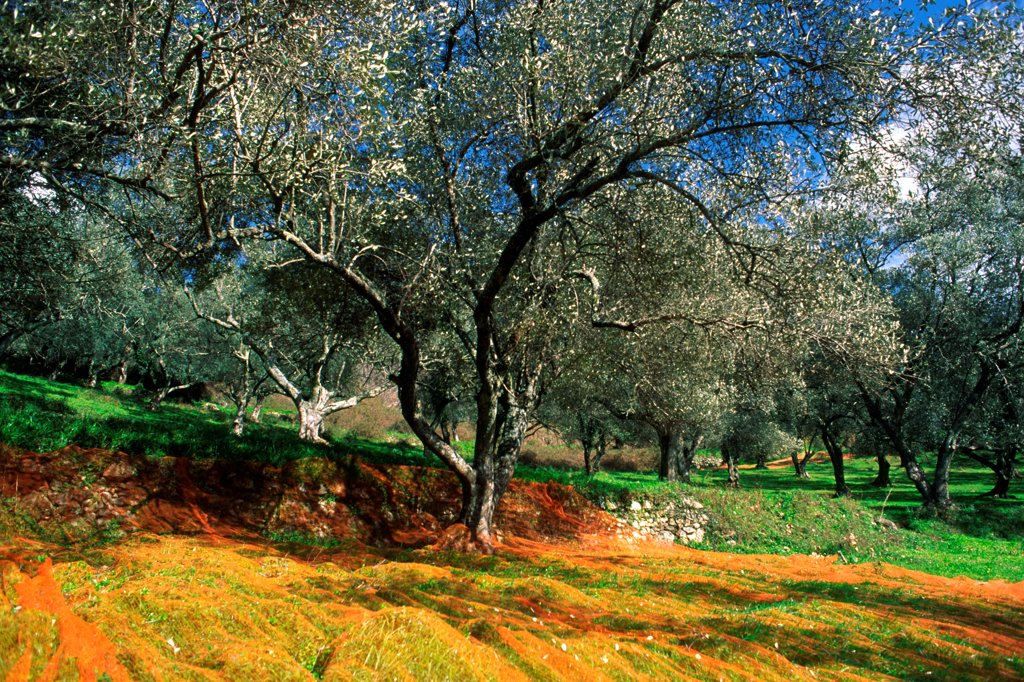Olive grove during harvest Corse : Stock Photo