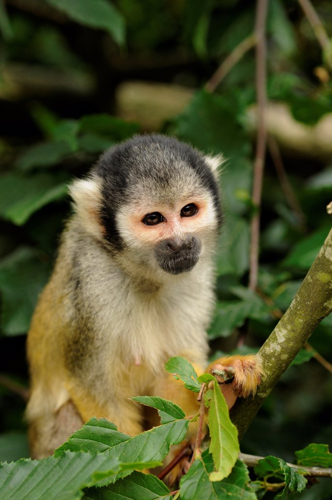 Stock Photo: 4413-106471 Peruvian squirrel monkey on a tree Monkeys Valley France