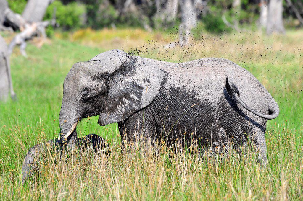 African Elephant sprinkling of mud Moremi Botswana : Stock Photo