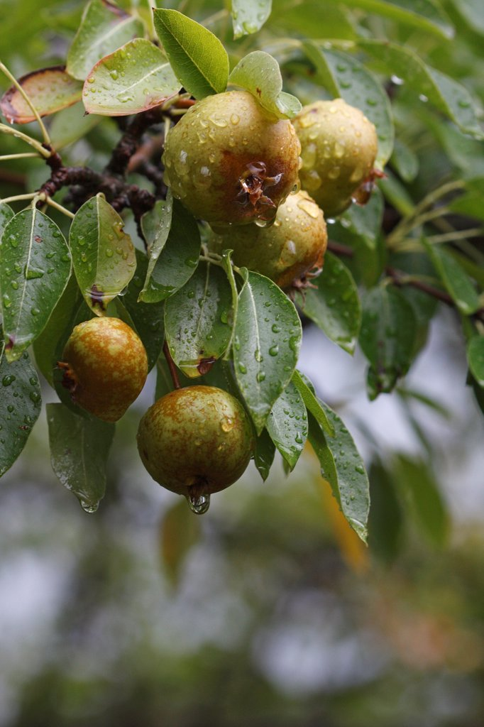 Stock Photo: 4413-107688 Wild pear in the rain Corsica France