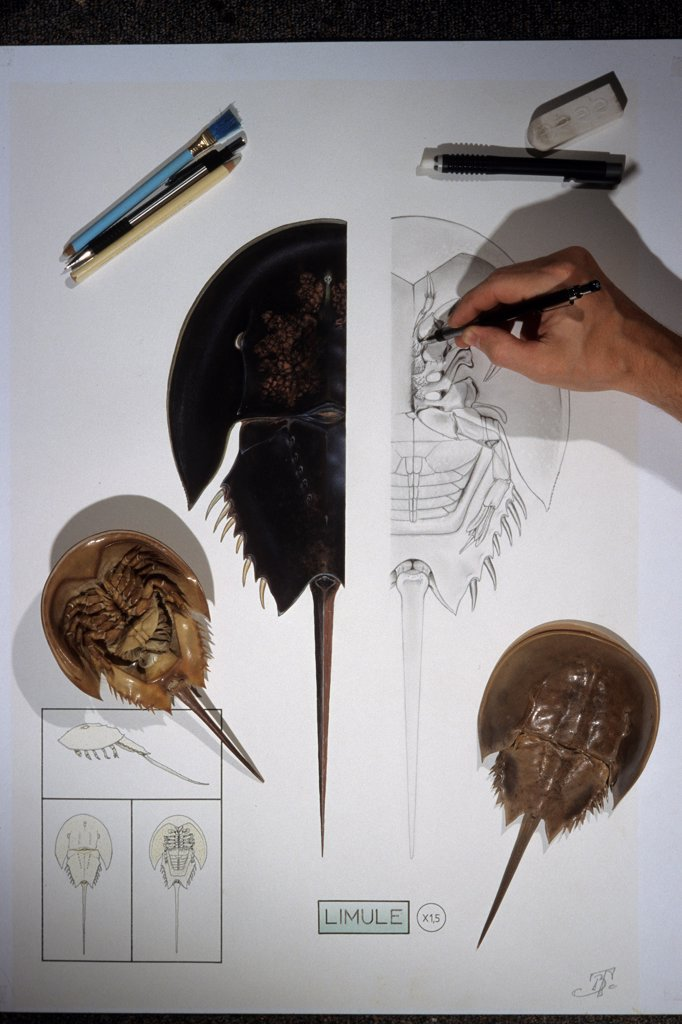 Stock Photo: 4413-10839 Drawing study of a horseshoe crab