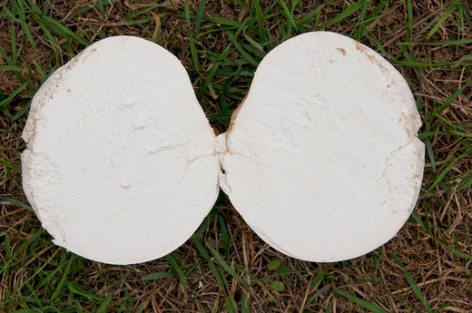 Giant Puffball in a meadow France : Stock Photo
