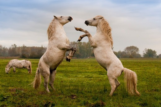 Fight between two Camargue stallions grazing in Picardy France : Stock Photo