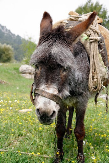 Lonely donkey with the saddle on his back Turkey : Stock Photo