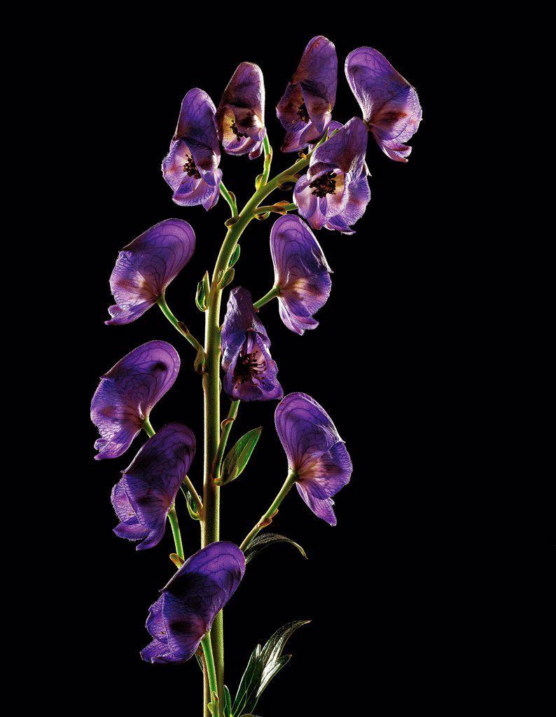 Flowers of Monkshood : Stock Photo