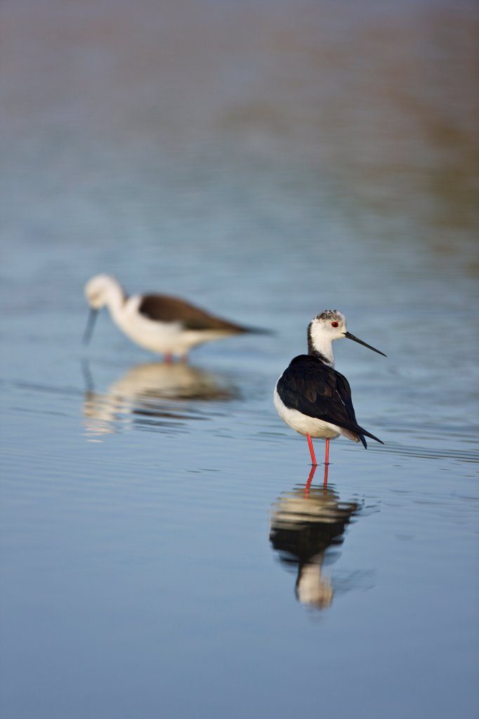 Black-winged Stilts in water Andalusia Spain : Stock Photo