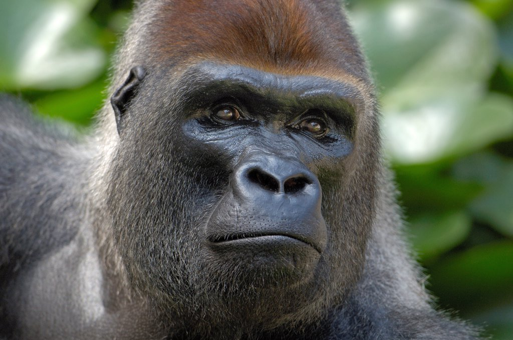 Stock Photo: 4413-11618 Portrait of a male Western lowland gorilla