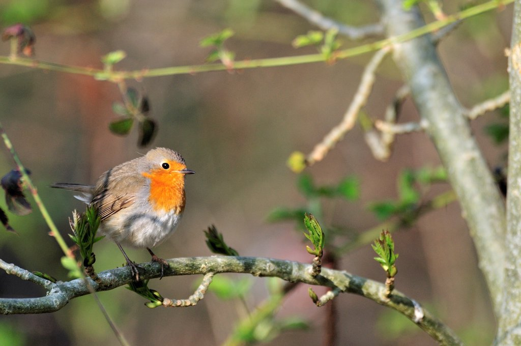 Stock Photo: 4413-118883 European Robin in a forest road France